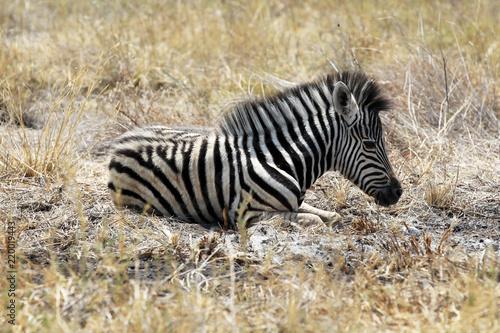 Zdjęcie XXL Zebra źrebię