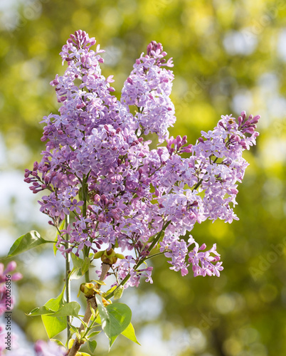 Keuken foto achterwand Lilac lilac flower in nature