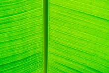 Close Up Of Palm Leave In The Palm House At Kew Gardens In London,UK.Palm Leaves Background.