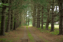 Country Driveway Framed By Fir...