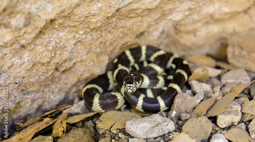 California Kingsnake (Lampropeltis californiae) in defensive posture. Pinnacles National Park, California, USA.