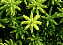 Close Up And Top View Of Succulent Sedum Rupestre Angelina In Garden