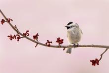 Carolina Chickadee On A Branch...
