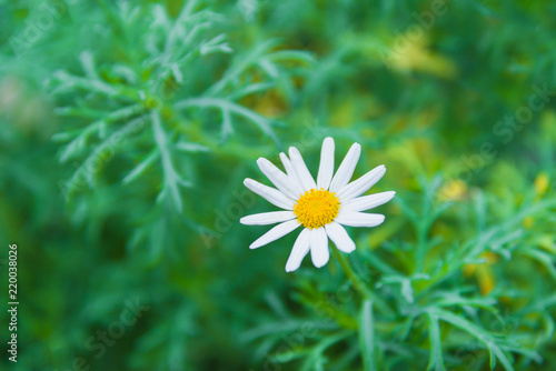 Beautiful white Daisies - Daisy flower science name Bellis perennis on green natural material of beauty, health, herbal messages for background