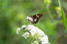 Silver Spotted Skipper Butterf...