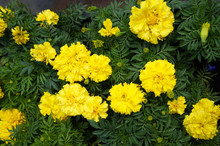 Tagetes Patula Bonanza Or  French Marigold Many Yellow Flowers With Green Background