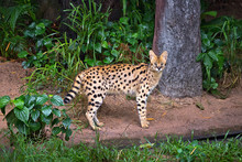 Serval Wild Cat  In The Wild N...