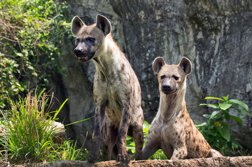 Spotted hyena in the wild nature.