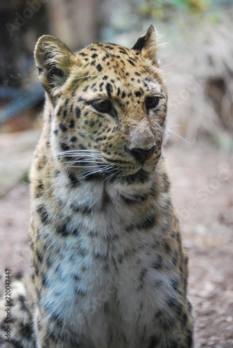 Tuinposter Luipaard Close up of a Leopard Cat