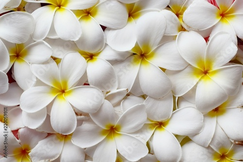 Selective focus, close up white plumeria flower top view for woman spa and beauty concept product background