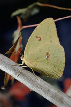 Common Sulphur Butterfly (Colias Philodice)