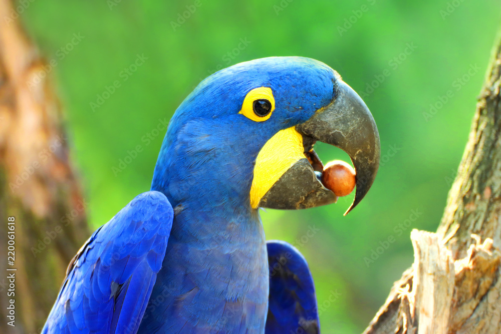 Big blue parrot Ara Hyacinth Macaw with food, Anodorhynchus hyacinthinus