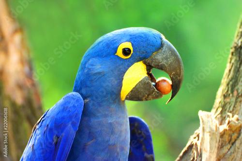 Big blue parrot Ara Hyacinth Macaw with food, Anodorhynchus hyacinthinus
