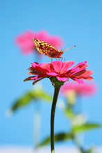 Backlight Of Pink Flower And Butterfly Under Blue Sky