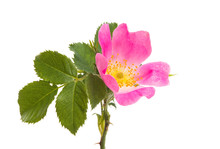 Wild Rose Isolated