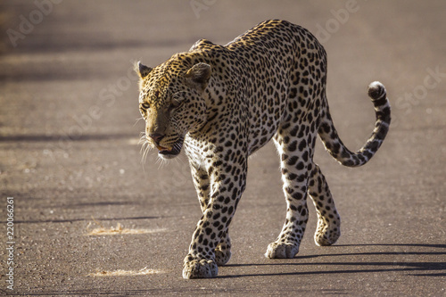 Tuinposter Luipaard Leopard in Kruger National park, South Africa