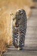 canvas print picture - Leopard in Kruger National park, South Africa