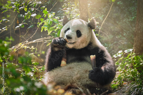 Foto auf AluDibond Pandas Giant panda bear in China