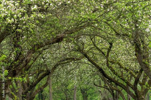Interlocking cherry tree crowns. Cherry trees alley.