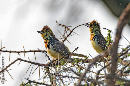 Pair of wild D'Arnaud's Barbets or Trachyphonus darnaudii Canvas Print