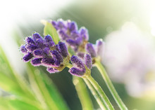 Lavender Flowers In Early Morn...