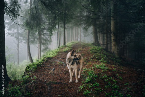 Pinturas sobre lienzo  Summer landscape with dog in a forest with fog.