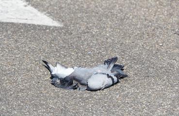 Pigeon mort sur une route
