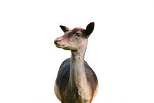 Young Deer Isolated On White Background. Wild Animal.