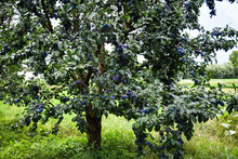 Organic Blue Plums On The Tree In A Garden