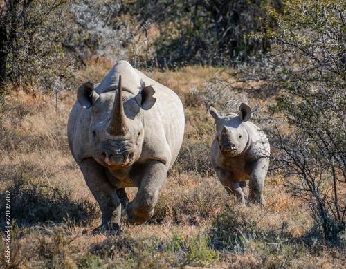 Black Rhino mother and calf