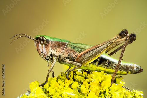 Lesser Marsh Grasshopper, Chorthippus albomarginatus, Omocestus viridulus, Common Green Grasshopper, Grasshopper