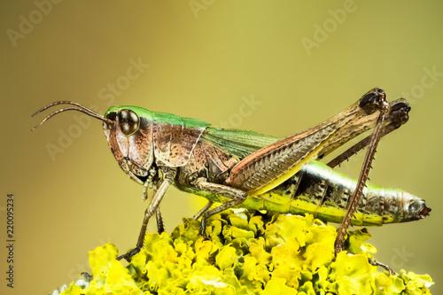 Fotografia, Obraz Lesser Marsh Grasshopper, Chorthippus albomarginatus, Omocestus viridulus, Commo