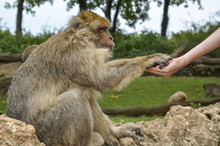 Barbary Macaque Taking Food