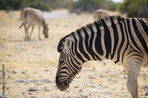Zdjęcie XXL Namibia Etosha National Park Zebra Profile