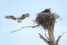 Osprey And Chick In Their Nest While It's Mate Lands On Nearby Limb