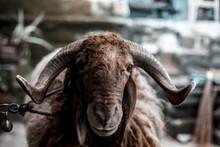 Close Up Of Indian Sheep Or Ra...