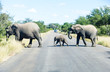 canvas print picture - Elephants crossing the road while protecting the young, Kruger park, South Africa.