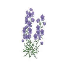 Tender Aconite Or Monkshood Flowers And Leaves Hand Drawn On White Background. Detailed Drawing Of Flowering Herbaceous Plant Or Wild Meadow Herb. Botanical Vector Illustration In Antique Style.