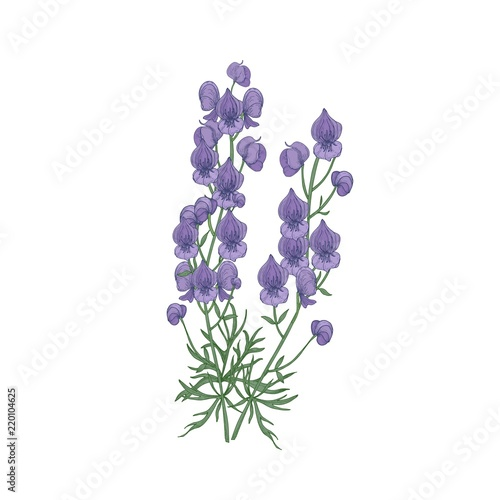 Tender aconite or monkshood flowers and leaves hand drawn on white background Canvas Print