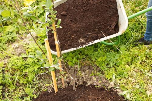 Садовая тележка с перегноем,уход за молодым саженцем яблони