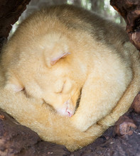 Golden Brushtail Possum Sleepi...