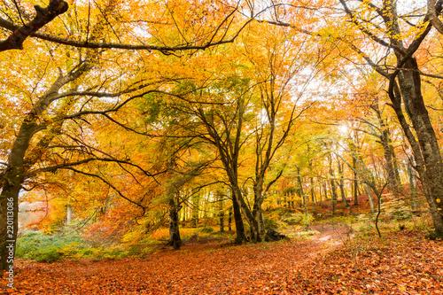 Aluminium Prints Autumn Foliage in Monti Cimini, Lazio, Italy. Autumn colors in a beechwood. Beechs with yellow leaves.