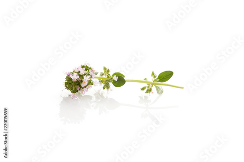 Breckland thyme isolated.