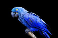Blue And Yellow, Endangered Hyacinth Macaw (parrot) Perched On A Tree Branch, On A Black Background