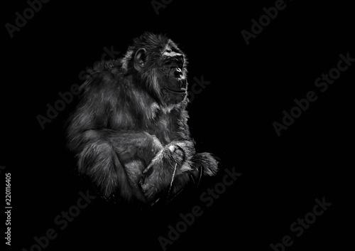 Obraz stary szympans siedzący na ciemnym tle - fototapety do salonu