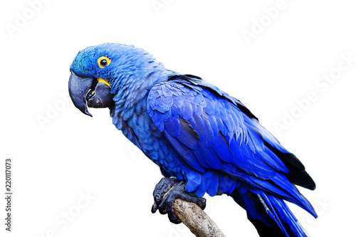 Blue and yellow, endangered Hyacinth Macaw (parrot) perched on a tree branch, on a white background