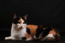 Beautiful Tricolored Cat Is Lying In The Dark Studio