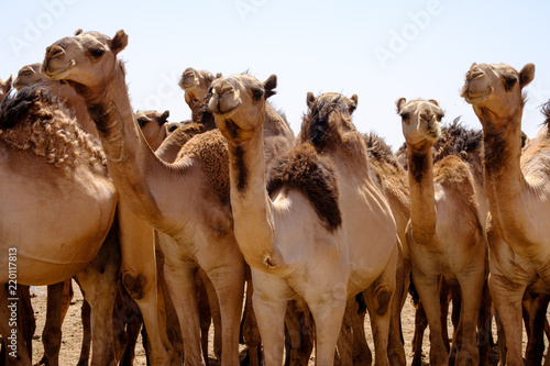 Camels of Karthoum market, Sudan 2