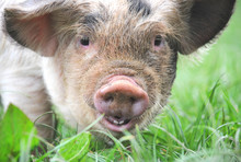 Close Up Of A Young Kune Kune ...
