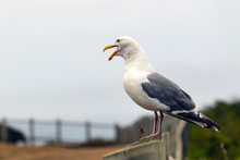 Squawking Seagull Standing On A Fence Post Portrait With Copy Space.